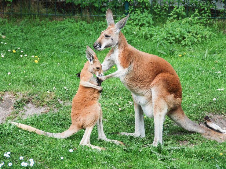 Foto: Jaderpark, Rotes Riesenkaenguru