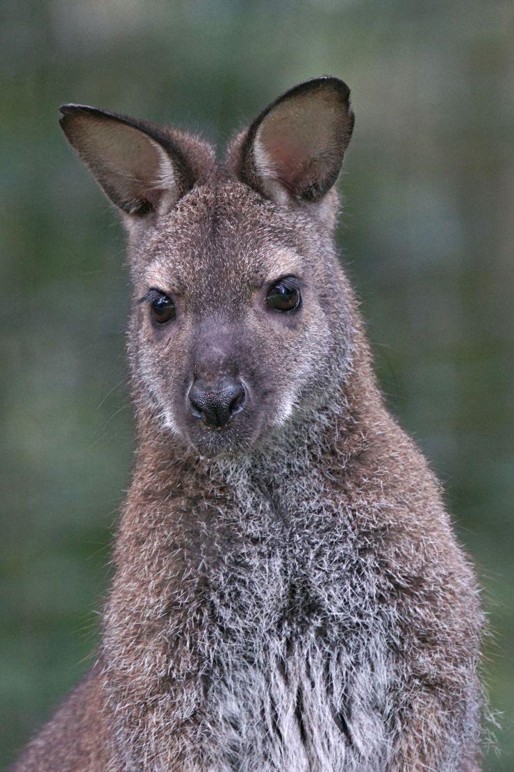 Foto: Eifelpark, Wallaby Kaenguru