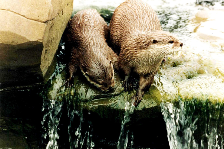 ... : Sea Life Timmendorfer Strand, Otter im Sea Life Timmendorfer Strand